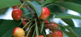 樱桃扦插繁殖法