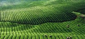 贵州凤冈县:力推有机茶生态旅游