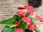 防治红掌细菌性叶枯病