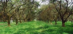 江安:橙岛观光果业让返乡农民工喜上眉梢