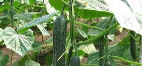 日光温室越冬茬黄瓜栽培技术