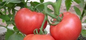 温室栽培番茄定植后管理
