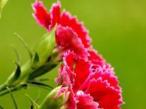 日光温室切花康乃馨栽培技术要点