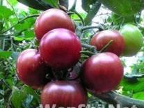 日光温室黑樱桃番茄栽培技术