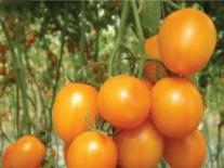 日光温室樱桃番茄的品种介绍及特性