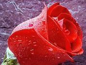 日光温室切花玫瑰的栽培和病虫害处理技术
